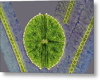 Desmids, Light Micrograph Metal Print by Science Photo Library
