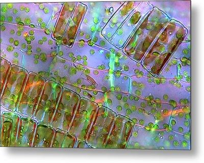 Diatoma Diatoms Metal Print by Marek Mis