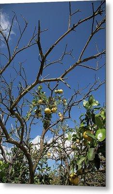 Diseased Grapefruit Tree Metal Print by Jim West