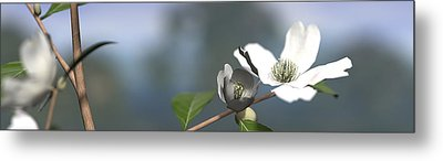 Dogwood Metal Print by Cynthia Decker