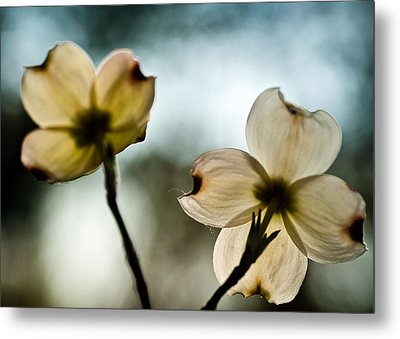 Metal Print featuring the photograph Dogwoods by Wayne Meyer