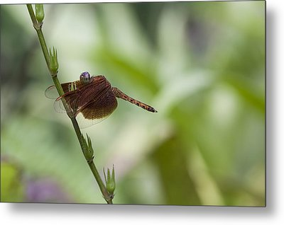 Metal Print featuring the photograph Dragonfly by Zoe Ferrie