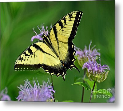 Eastern Tiger Swallowtail Metal Print by Rodney Campbell