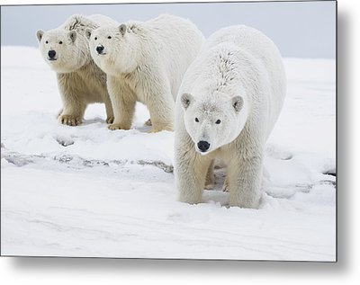 Female Polar Bear With A Pair Of Cubs Metal Print by Steven Kazlowski