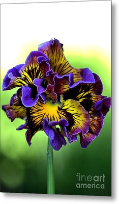 Frilly Pansy Metal Print