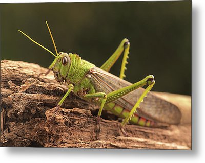 Giant Grasshopper Metal Print by Ktsdesign