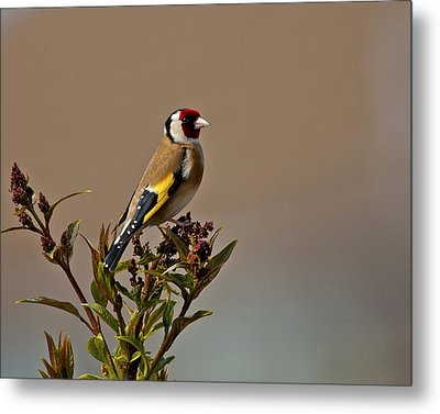 Goldfinch Metal Print by Paul Scoullar