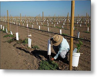 Grape Vines Being Tended In Vineyard Metal Print