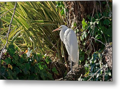 Metal Print featuring the photograph Great Egret by Kate Brown