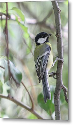 Metal Print featuring the photograph Great Tit - Parus Major by Jivko Nakev