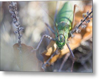 Green Grasshopper Ephippiger Metal Print by Jivko Nakev