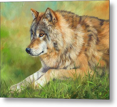 Grey Wolf Metal Print by David Stribbling