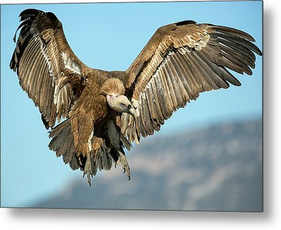 Griffon Vulture Flying Metal Print by Nicolas Reusens