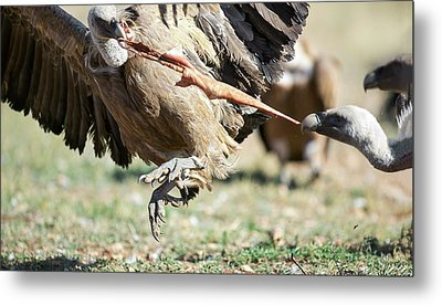 Griffon Vultures Feeding Metal Print by Nicolas Reusens