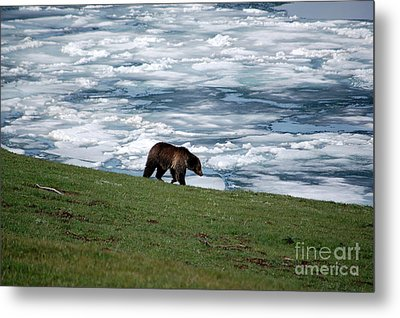 Metal Print featuring the photograph Grizzly Bear On Frozen Lake Yellowstone by Shawn O'Brien