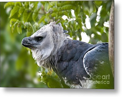 Harpy Eagle Metal Print by Mark Newman