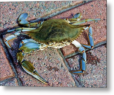 Metal Print featuring the photograph Hudson River Crab by Lilliana Mendez