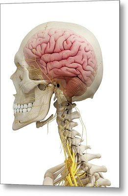 Human Brain And Nerves Metal Print by Sciepro