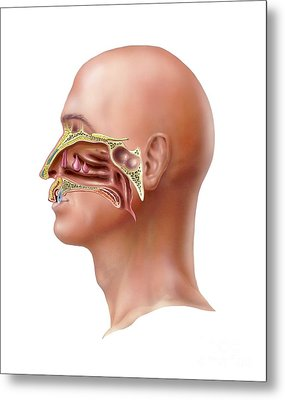 Human Olfactory System, Artwork Metal Print