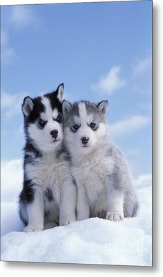Husky Puppy Dogs Metal Print by Rolf Kopfle