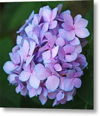 Hydrangea Metal Print by Rona Black