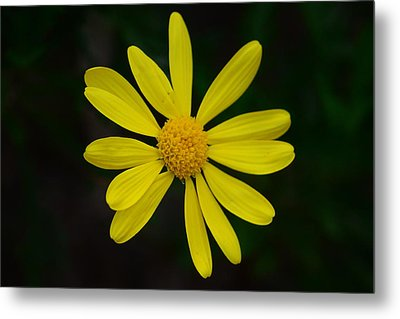 Metal Print featuring the photograph Isolated Daisy by Debra Martz