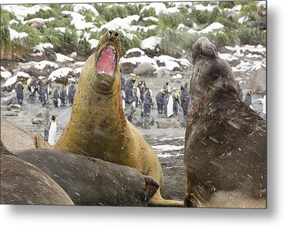 Large Bull Southern Elephant Seal Metal Print by Ashley Cooper