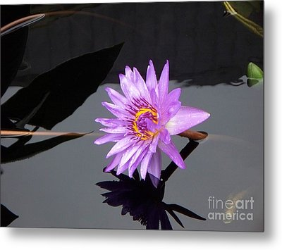 Lavender Lily Metal Print by Eric  Schiabor