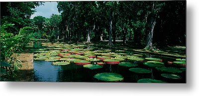 Lily Pads Floating On Water Metal Print by Panoramic Images
