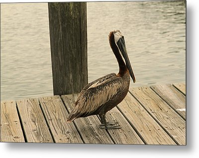 Louisiana Brown Pelican Metal Print