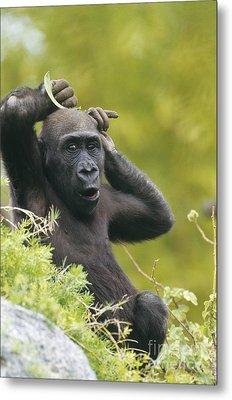 Lowland Gorilla Metal Print by Art Wolfe