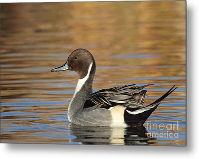 Male Pintail Metal Print by Ruth Jolly