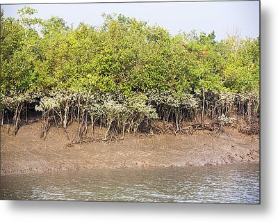 Mangroves In The Sunderbans Metal Print by Ashley Cooper