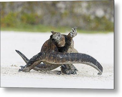 Marine Iguana Males Fighting Turtle Bay Metal Print by Tui De Roy