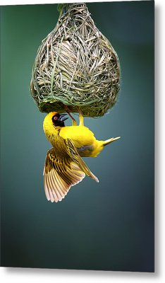 Masked Weaver At Nest Metal Print by Johan Swanepoel