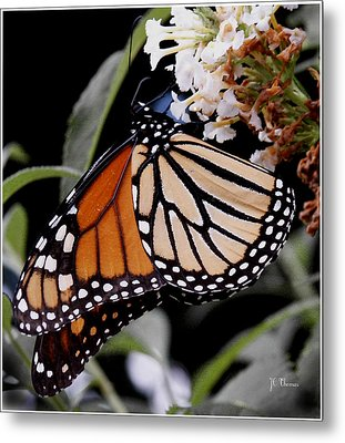 Monarch Butterfly Metal Print by James C Thomas