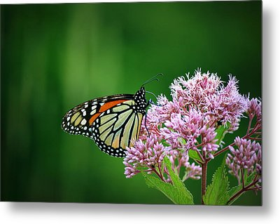 Monarch In Light  Metal Print