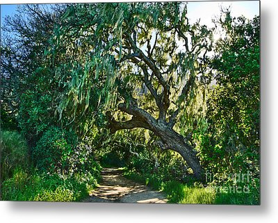 Moss Covered Tree In Garland Ranch Park In Monterey California. Metal Print