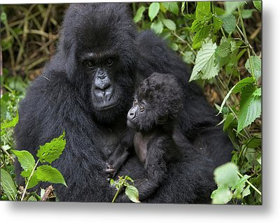 Mountain Gorilla And Infant Metal Print by Suzi Eszterhas
