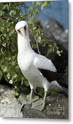 Nazca Booby Metal Print by William H. Mullins