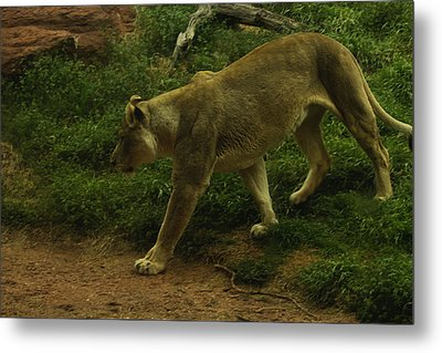 On The Prowl Metal Print by Lindy Spencer