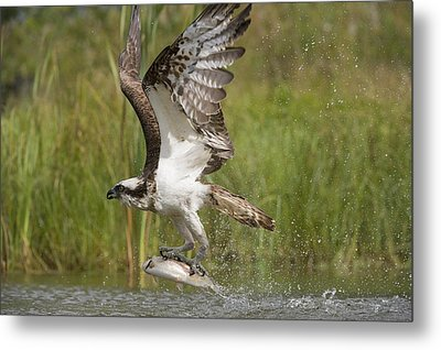 Osprey Catching A Fish Metal Print by Science Photo Library