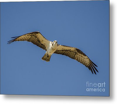 Metal Print featuring the photograph Osprey In Flight Spreading His Wings by Dale Powell