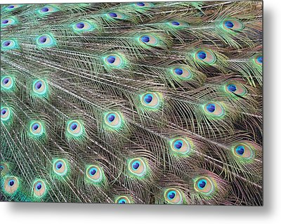 Metal Print featuring the photograph Peacock Feather Fiesta  by Diane Alexander