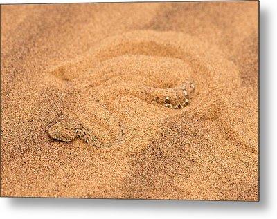 Peringuey's Adder Burying Itself In Sand Metal Print by Tony Camacho