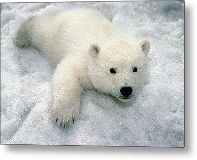 Polar Bear Cub Playing In Snow Alaska Metal Print by Mark Newman