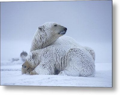 Polar Bear Sow With Cub Resting Metal Print