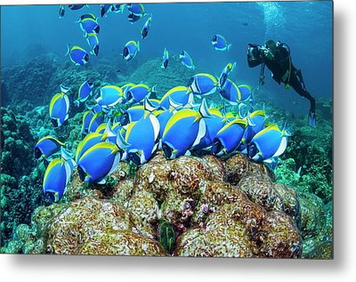 Powderblue Surgeonfish Metal Print by Georgette Douwma