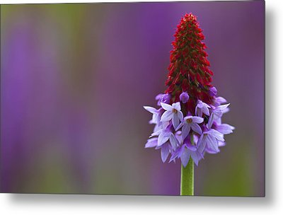 Metal Print featuring the photograph Primula Vialii  by Zoe Ferrie