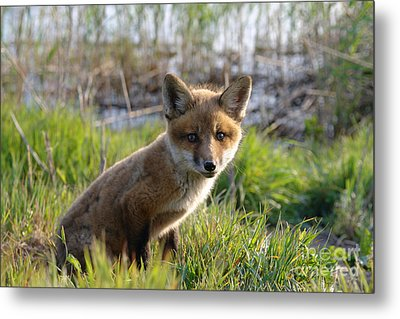 Red Fox Kit Metal Print by Olivier Le Queinec